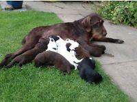 German wire haired pointer X border collie puppies