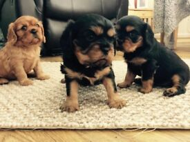 Stunning Cavalier King Charles puppies. KC registered