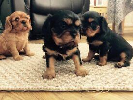 Stunning Cavalier King Charles puppies. KC registered