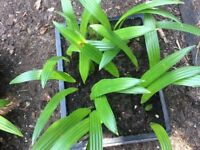 Palm Tree Seedlings(Trachycarpus Fortunei) Trays of For Sale.