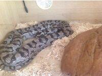 Ghost corn snake ,