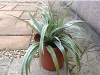 Plant silver Astelia evergreen £7