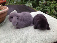 Pretty Baby Rabbits for Sale