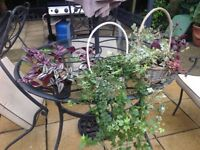 Indoor veragated hanging plants and ivy plants in baskets