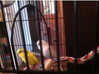 2 young budgies and cage for sale