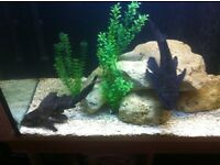 2 gibbeceps plecos for sale
