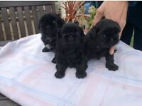 Small Imperial size Shih Tzu Puppies for sale