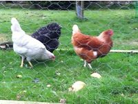 Everything you need for keeping chickens (coop, run, feeders etc.) and 3 lovely birds