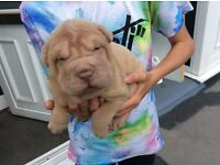Shar pei pups. ( just the 2 female blacks now available