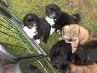 Shih Tzu cross Lhasa Apso puppies for sale.