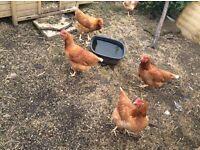 Goldline chickens
