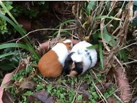 2 friendly female guinea pigs and outdoor cage to good home