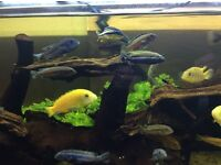 Malawi Cichlids for sale.
