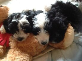3 little girl Cockapoo puppies for sale.