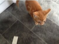 Half Bengal cat back up for sale 10 weeks