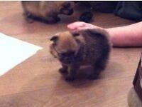 Pedigree Pomeranian pups
