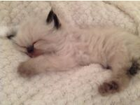 Purrdoll kittens. Pedigree Persian x Ragdoll.forever blue eyed.lilac & chocolate points.ready soon.