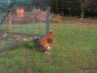 Rhode Island Red Cockerel for sale