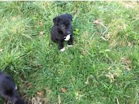 Gorgeous Collabie pups , lovely temperament , very friendly and smart too!