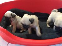KC pug puppies for sale