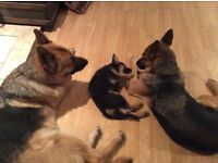 German shepherds KC Registered