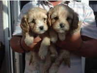 2 Cavapoo puppies for sale 1 male and 1 female 5 weeks old