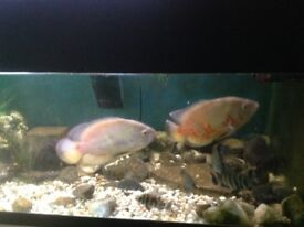 Pair of 10 inch pink oscars for sale