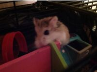 Russian hamster for sale, all additions