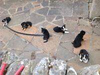 For Sale - Kelpie X Collie Pups