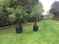 Chusan Palm Trees(Trachycarpus Fortunei) in 50 Litre Tubs For Sale.