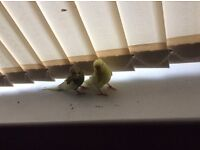 2 baby budgies with cage for sale