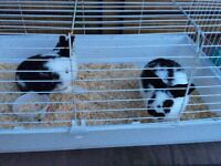 Two male rabbits with in door cage and out door cage