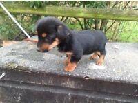 Pomeranian X jack Russell puppy's