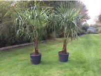 Palm Trees Trachycarpus Fortunei For Sale.