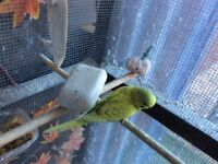 Budgies x 6 for sale