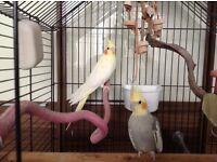 2 Cockatiels plus large cage