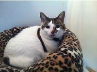 Missing cat Avondale Crescent CF11