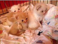 Persian Siamese babies