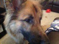 Pedigree 2 yr old Neutered 98lb German Shepherd