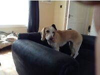 2 beautiful beagle bitches age6/8 require a new forever home