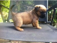 Pug cross girl pups for sale