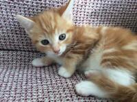 Female Dark Ginger and White Kitten