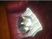 Tabby cat for sale