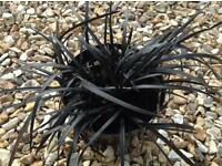 Black lily grass plant £2