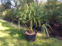 Palm Trees Large 43 Litre Trachycarpus Fortunei For Sale. Each.