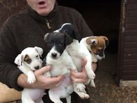 Jack Russell pups boys and girls