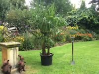Trachycarpus Fortunei Palm Trees with three trunks per 50 Litre Tub For Sale .