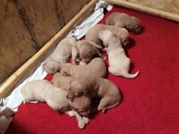 Gorgeous F1 Labradoodle Puppies for sale