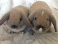 Baby Mini lop Rabbits. Ready now.