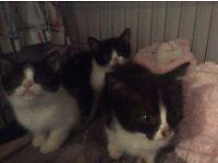 3 black and white kittens Burmese cross British blue shorthair for sale